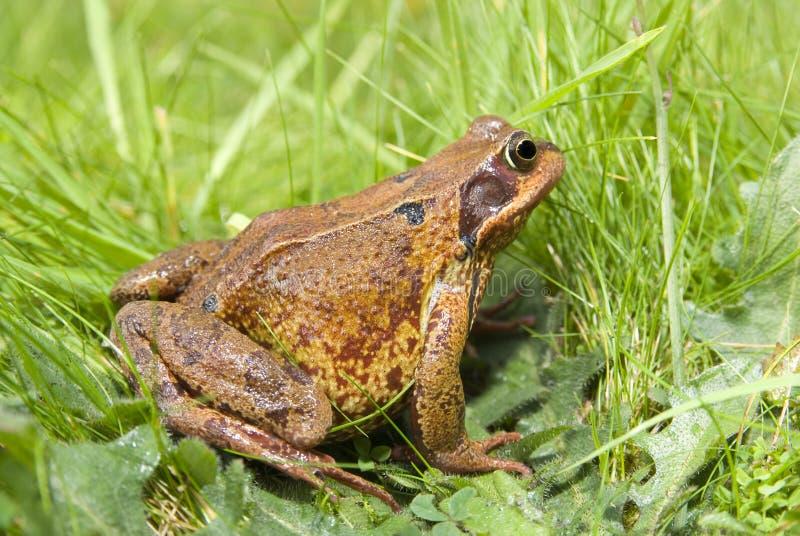 British frog (Ranidae Rana). A common British frog (Ranidae Rana) nestled in long grass royalty free stock images