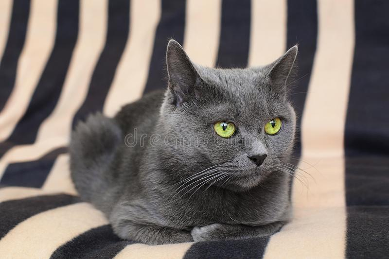 British gray cat with green eyes lying on striped couch royalty free stock photography