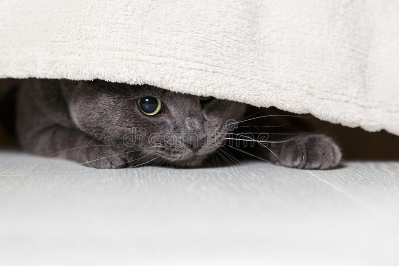 British gray cat looking from under bed royalty free stock photography