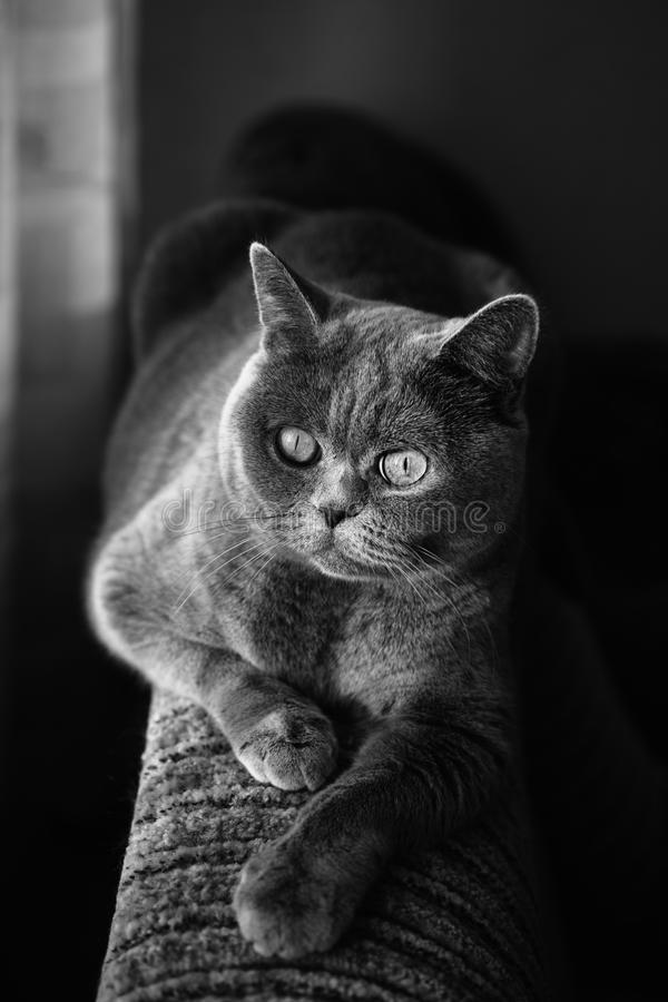 British Gray Cat Lying In The Window Stock Image