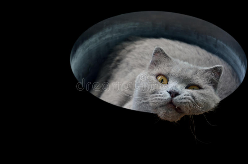 British gray cat in a tube isolated on a black background stock photography