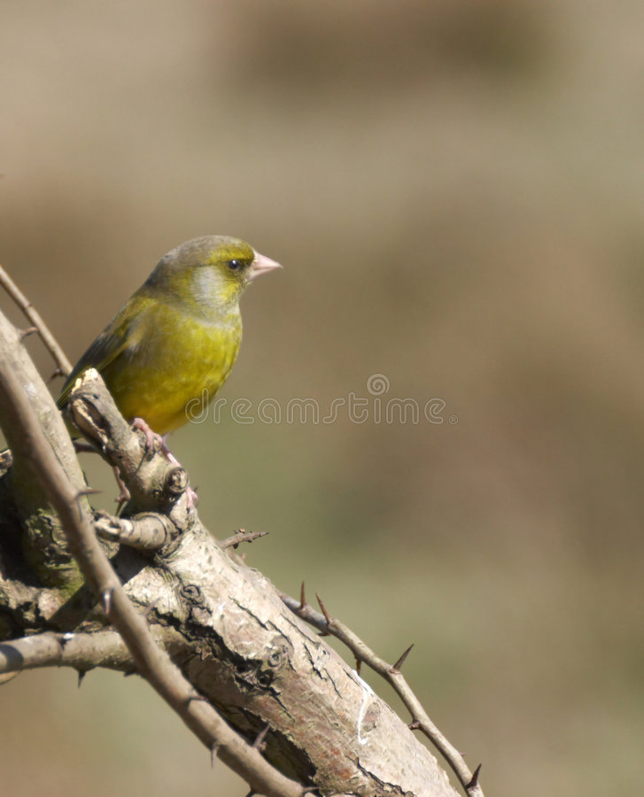 Free British Greenfinch Stock Images - 2417864