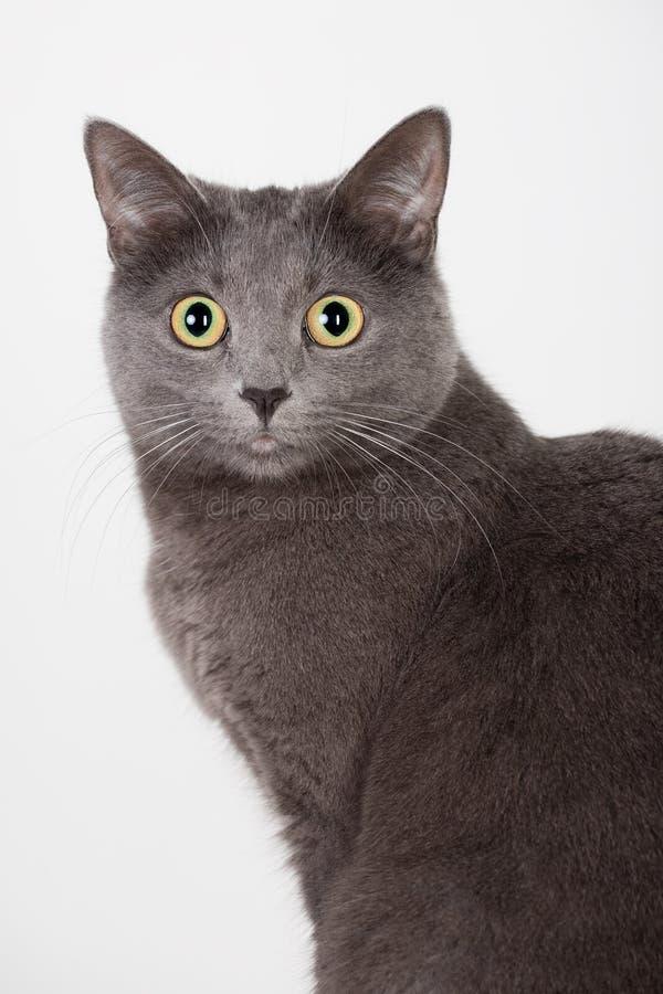 Free British Grey Cat Stock Images - 12909604