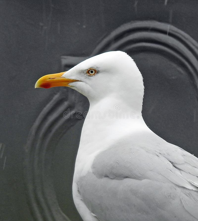 British heron seagull head and shoulders side profile royalty free stock photo