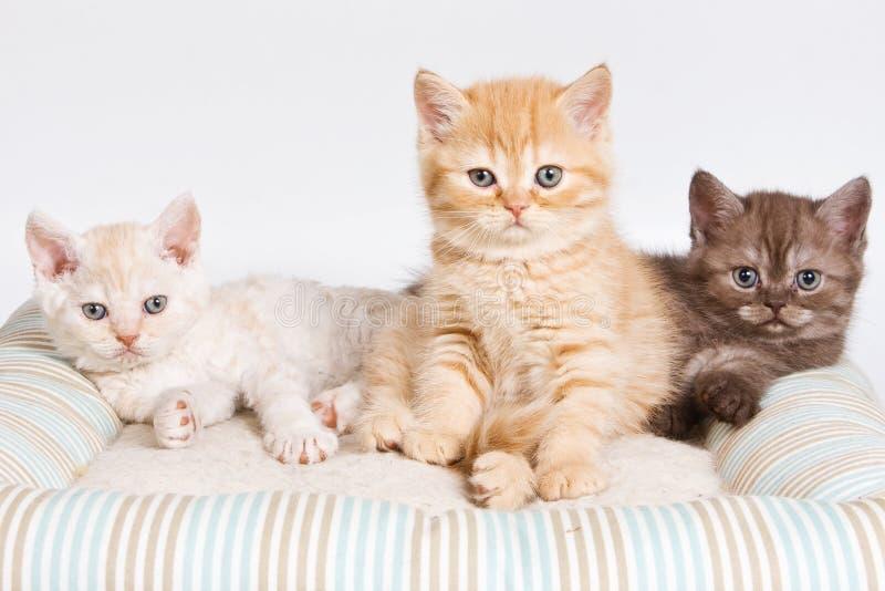 Download British Kitten Stock Images - Image: 13818164