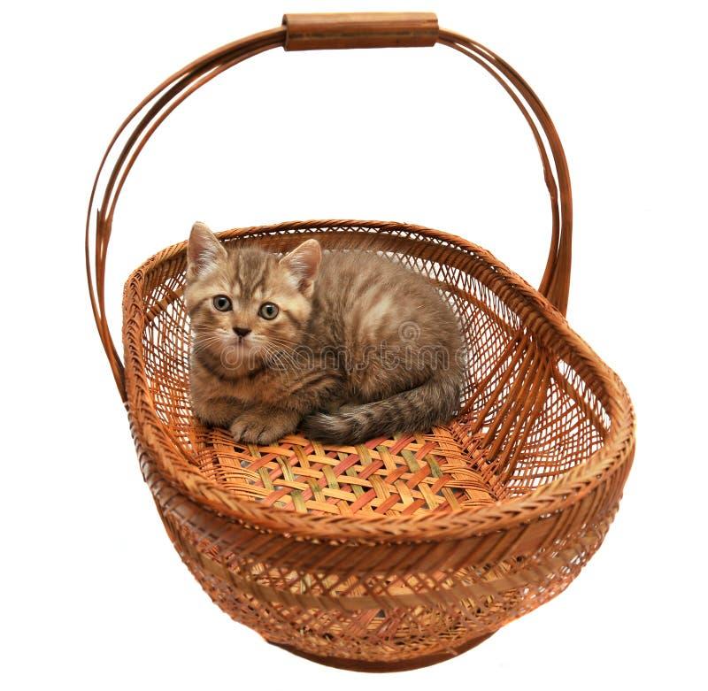 Download British kitten stock image. Image of eyes, kitten, gray - 19452841