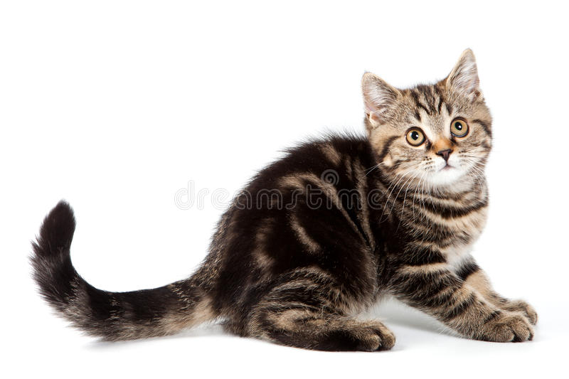 Download British kitten stock photo. Image of shot, fear, adorable - 22193482