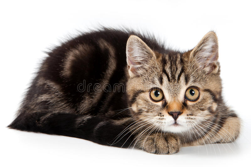Download British kitten stock photo. Image of animal, sweet, shot - 22193496