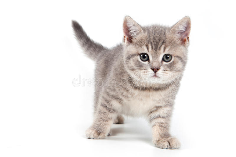 Download British kitten stock photo. Image of portrait, purebred - 22332378