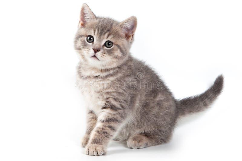 Download British kitten stock image. Image of breed, shot, pedigreed - 22332407