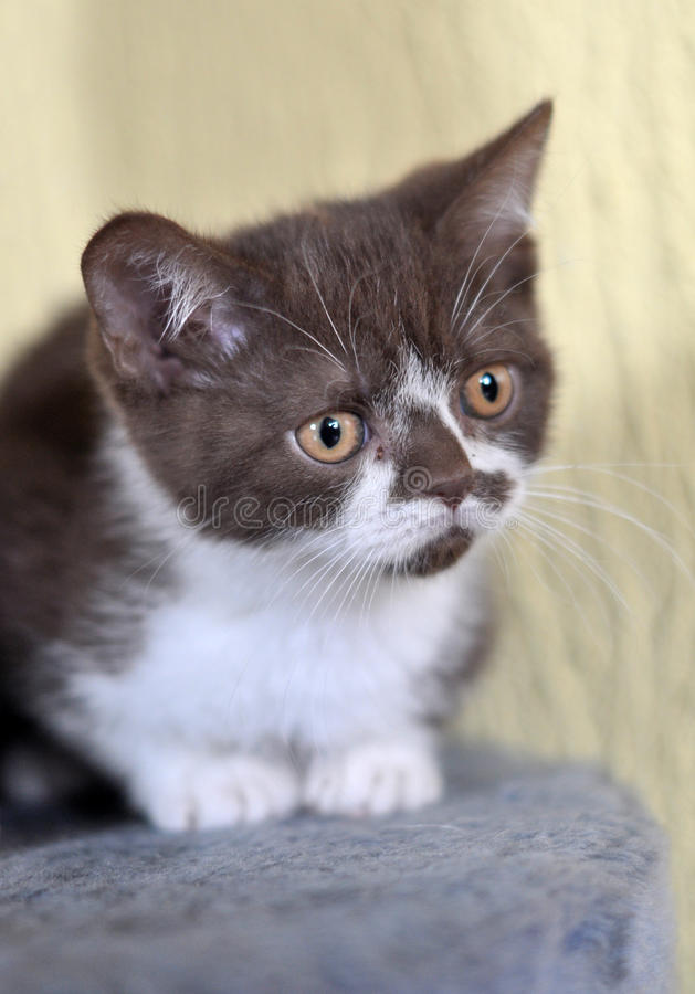 Download British kitten stock image. Image of portret, spots, thoroughbred - 25346251