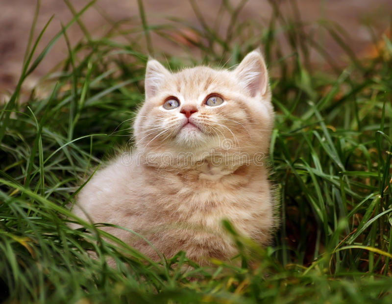 Download British kitten stock image. Image of ball, baby, blue - 27093379