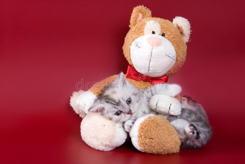 Download British kitten stock image. Image of pedigree, cute, bear - 4292129