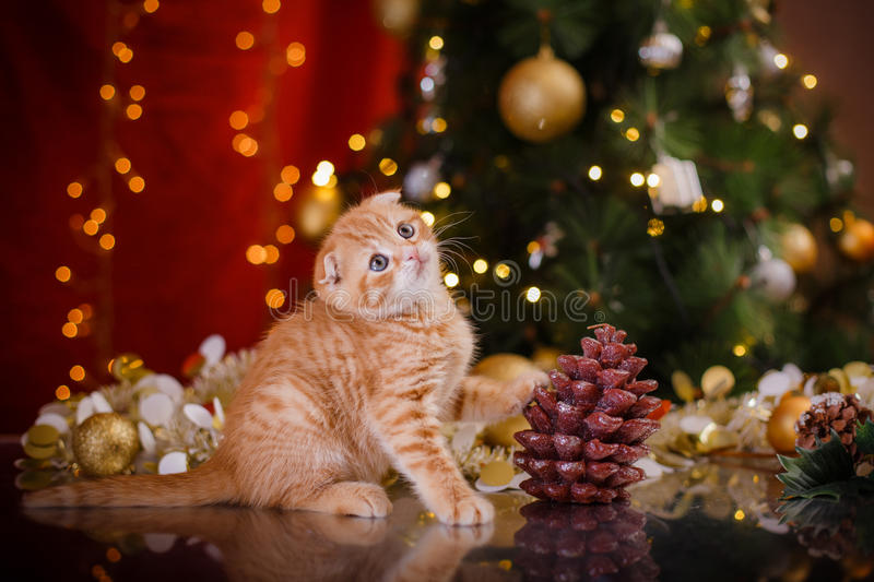 British kitten, Christmas and New Year. Portrait cat on a studio color background stock image