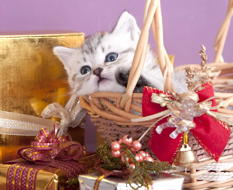 Download British kitten and gifts stock photo. Image of package - 17275762