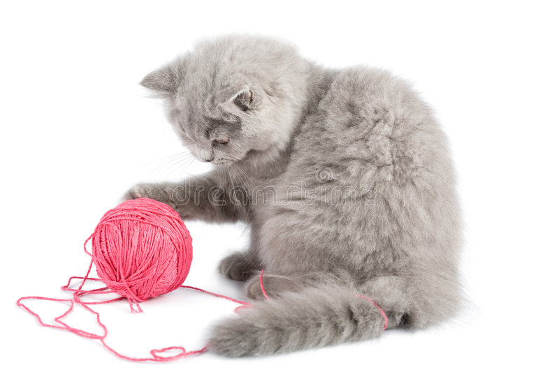 Download British Kitten Playing With Pink Clew Isolated Stock Photo - Image: 6820506