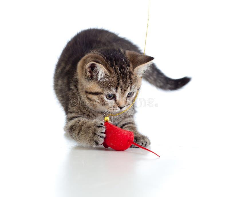 British kitten playing red mouse