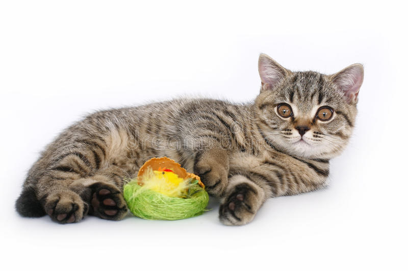 Download British kitten with a toy stock image. Image of playful - 27401199