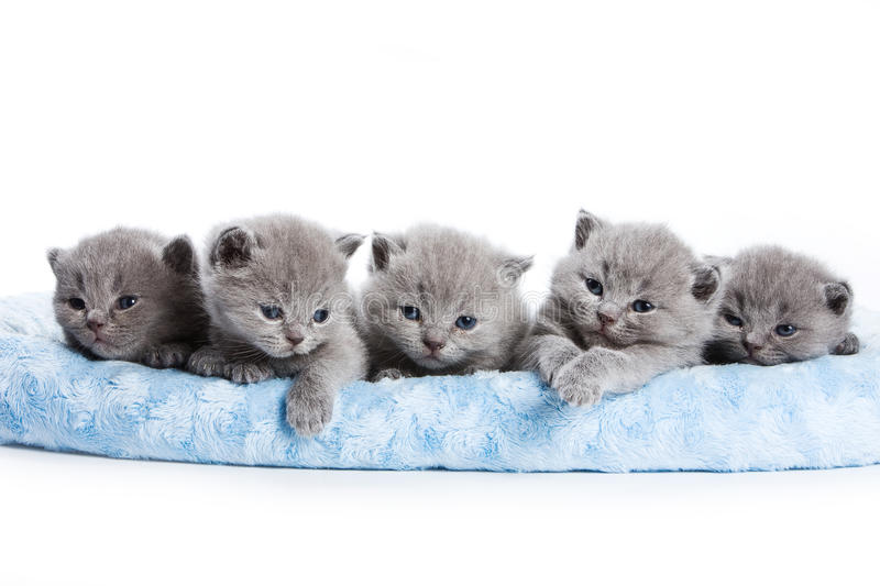 British kittens. On white backgrounds royalty free stock photo