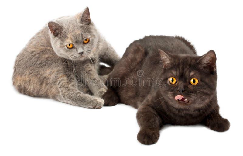 Download British Kittens Royalty Free Stock Image - Image: 21391606