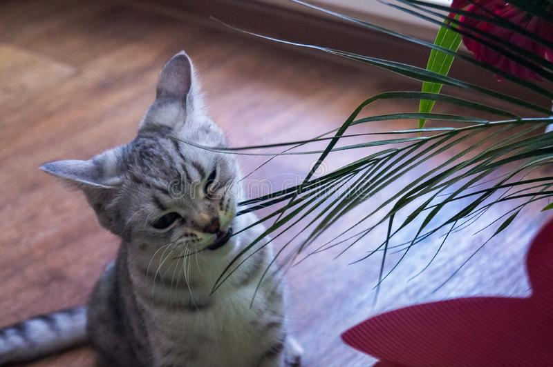 British kitty eats a bouquet stock images