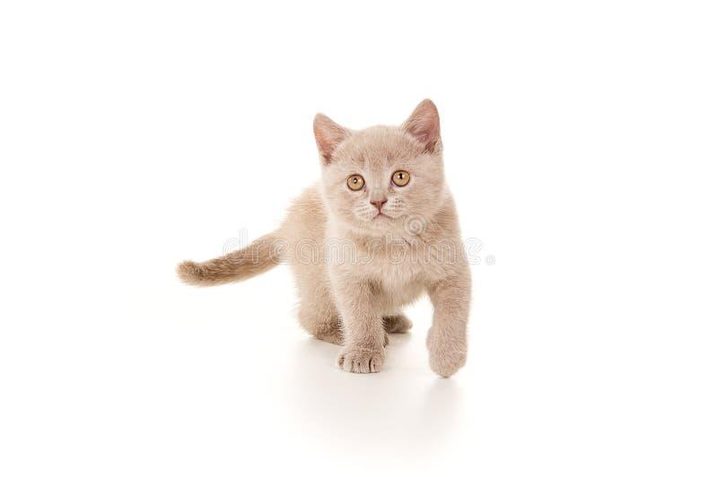 British little beautiful smoke gray kitten stock photo