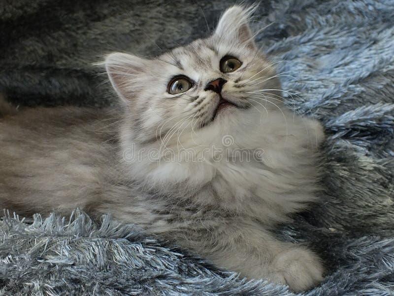 British longhair. Cat black silver shaded royalty free stock photo