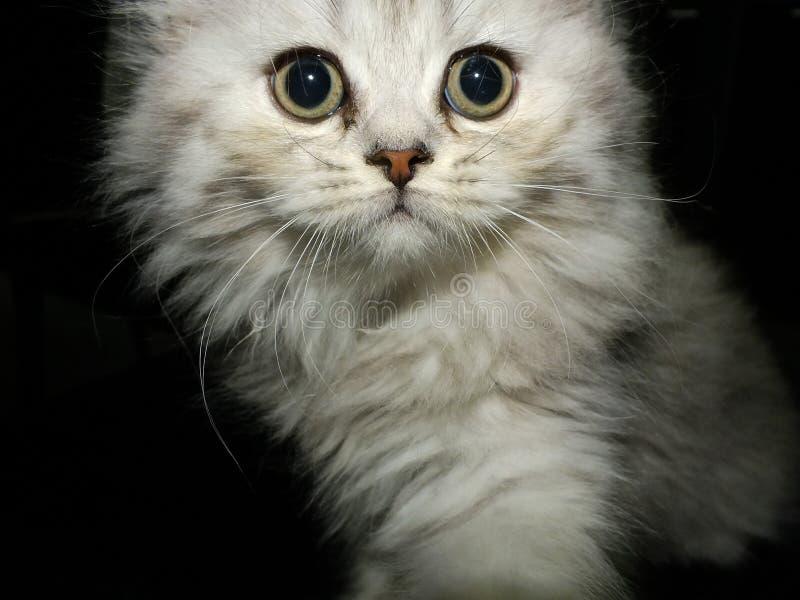 British longhair. Cat black silver shaded stock image