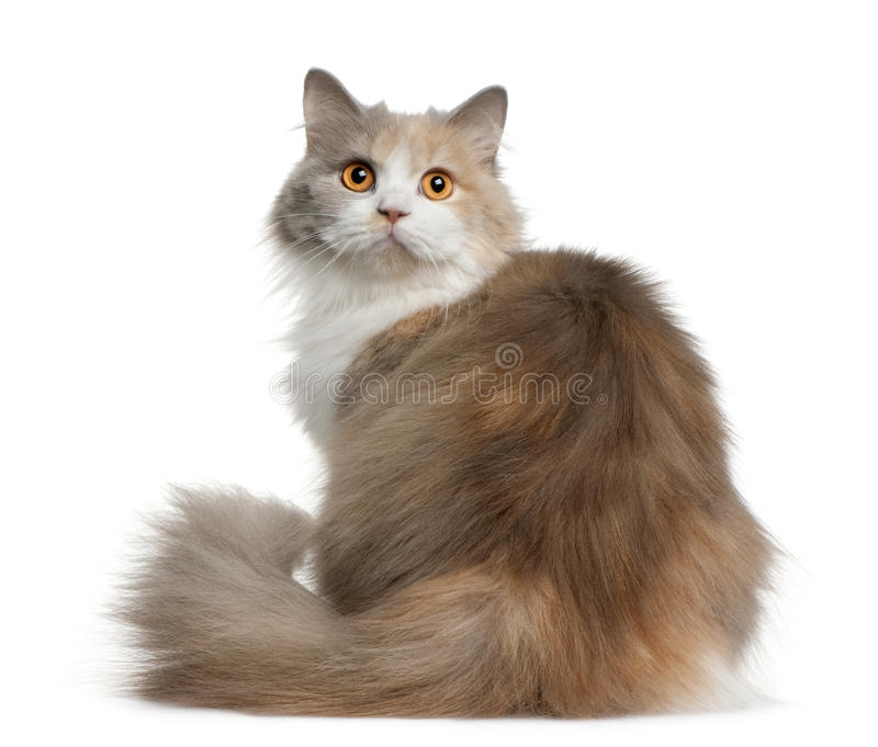 Download British Longhair Cat, 11 Months Old Stock Photos - Image: 13667223