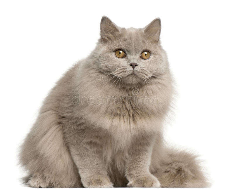 Download British Longhair Cat, 15 Months Old, Sitting Stock Image - Image of months, alert: 23088115