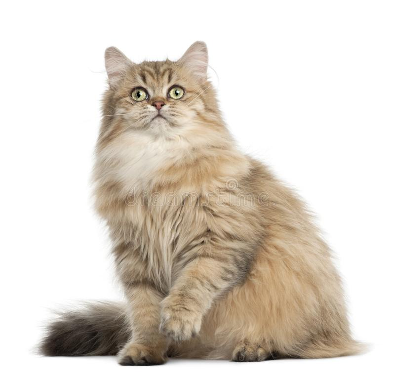 Free British Longhair Cat, 4 Months Old Stock Photo - 129919070