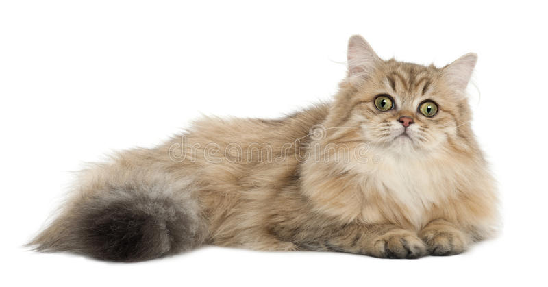 Download British Longhair Cat, 4 Months Old, Lying Stock Image - Image: 26643359
