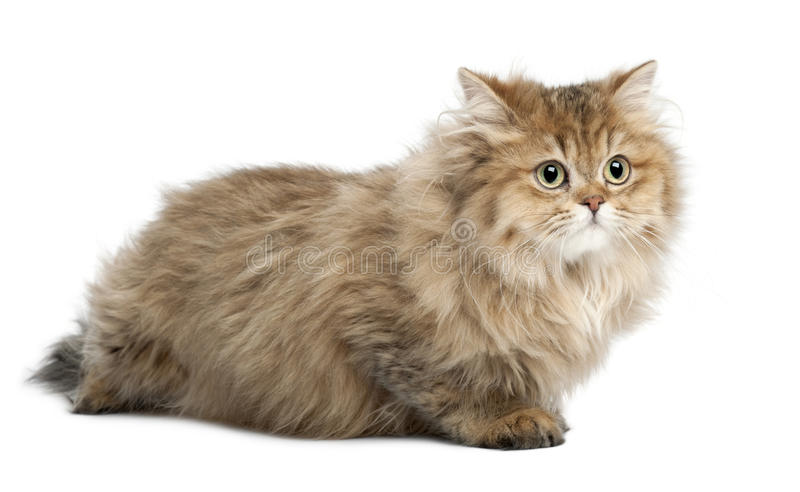 British Longhair Cat 4 Months Old Lying Stock Image