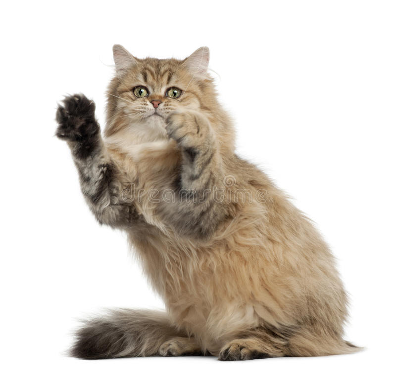 Download British Longhair Cat, 4 Months Old, Sitting Stock Image - Image: 26643325