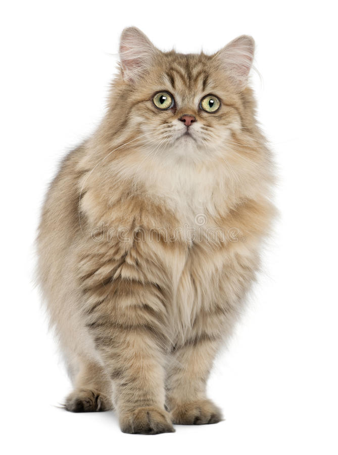 Download British Longhair Cat, 4 Months Old, Standing Stock Photo - Image: 26643342