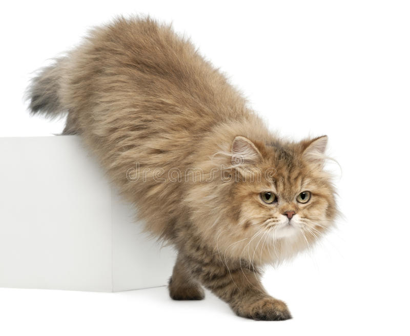 British Longhair Cat, 4 Months Old, Walking Royalty Free Stock Images