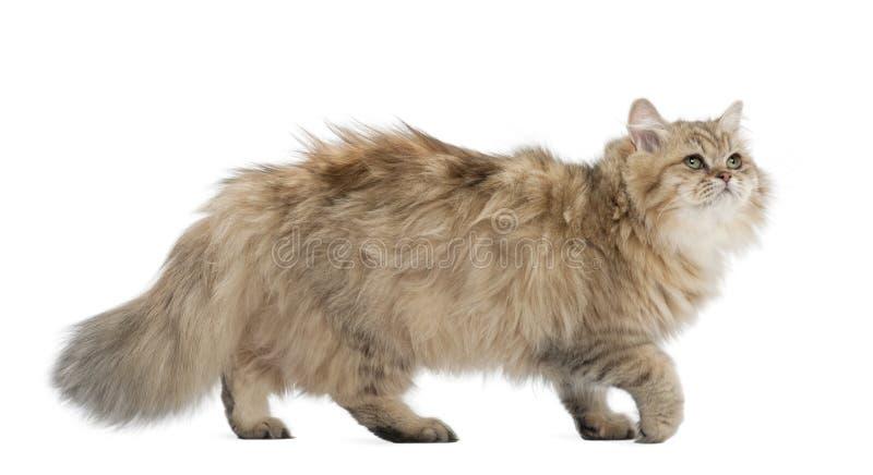 British Longhair Cat, 4 Months Old, Walking Stock Photo