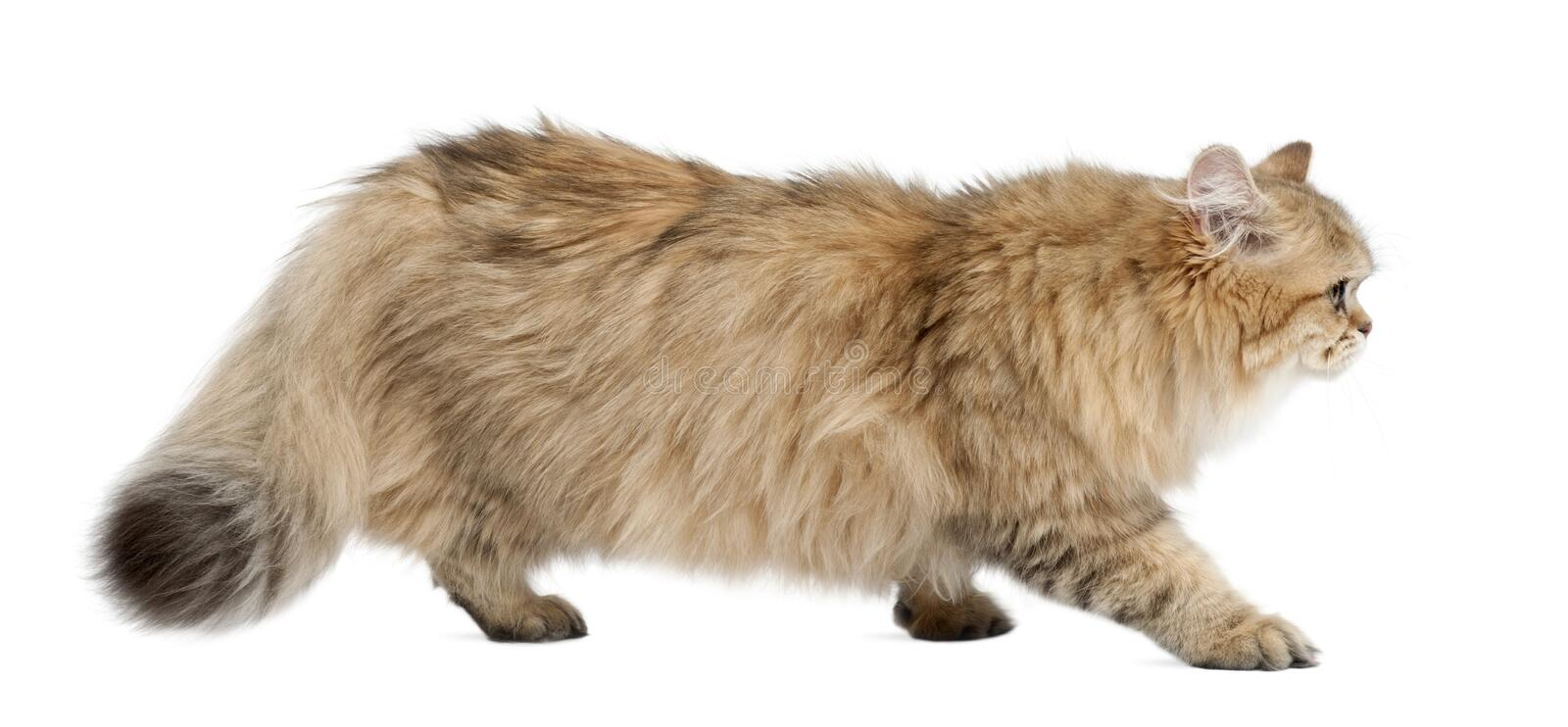 British Longhair Cat, 4 Months Old, Walking Stock Images