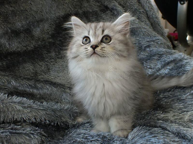 British longhair. Cat black silver shaded stock photos