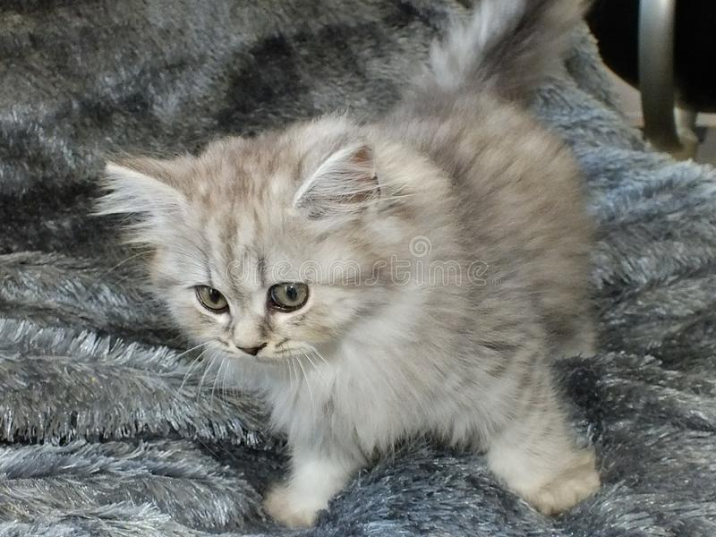 British longhair. Cat black silver shaded stock photo