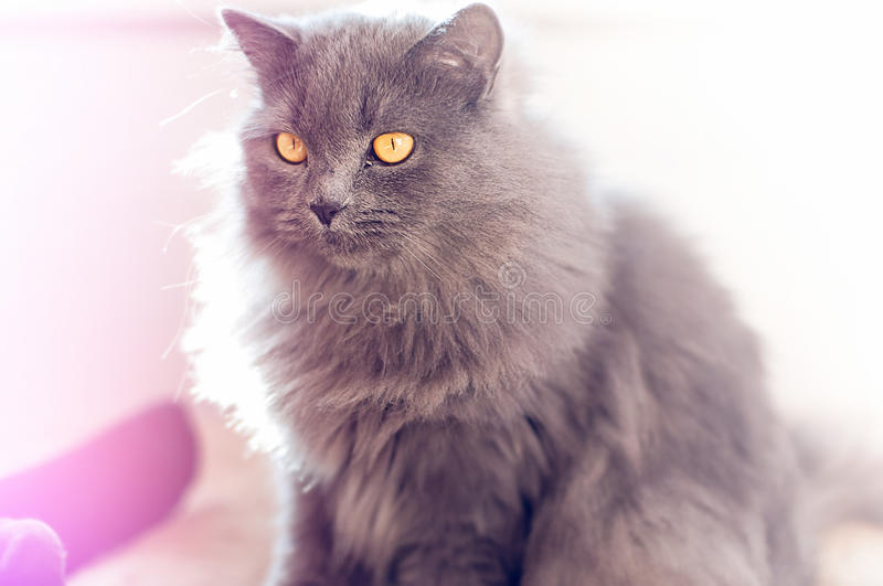 British longhair Cat royalty free stock photography