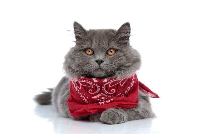 British longhair cat lying down and staring at camera serious royalty free stock image