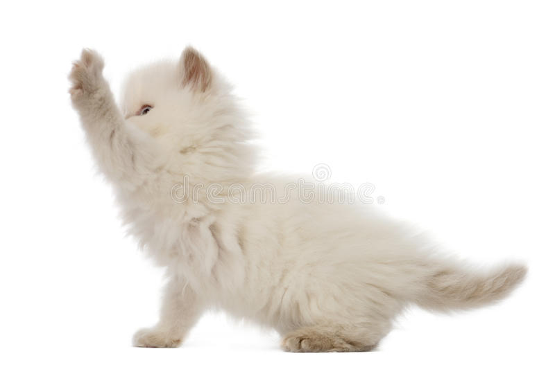 Download British Longhair Kitten Playing, 5 Weeks Old Stock Photo - Image: 27271236