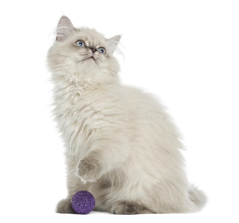 Download British Longhair Kitten Sitting With A Ball, Looking Up Stock Image - Image of playing, animal: 34066217
