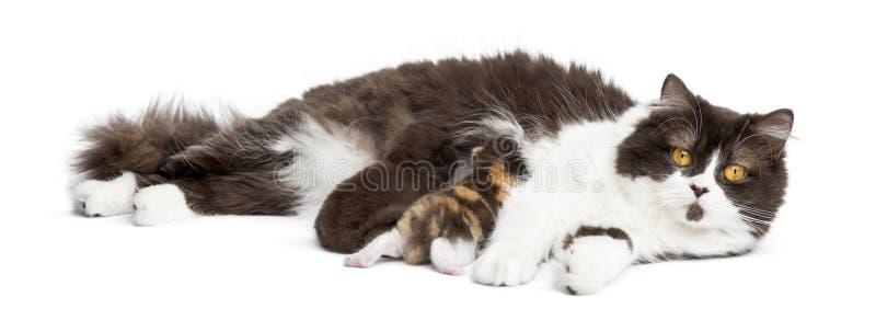 Download British Longhair Lying Looking At The Camera, Feeding Its Kitten Stock Image - Image: 34774635