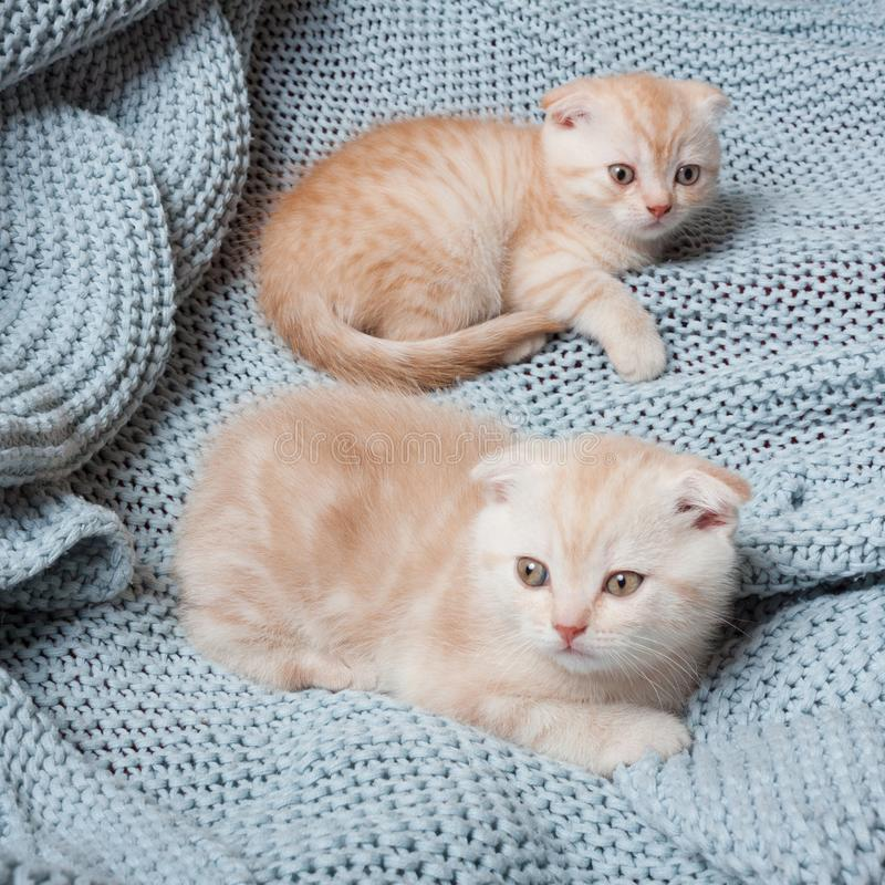 British lop-eared kittens royalty free stock photography