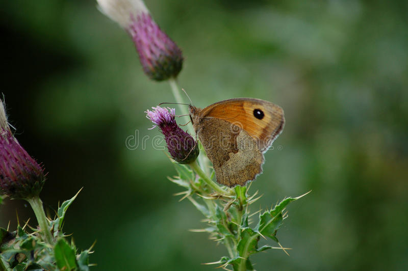 British Orange Brown Small Heath Butterfly stock photos