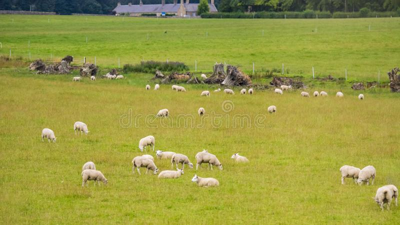 British pastoral scenery. In the outskirts of many British towns, the green trees are forested, the green grass is shaded, the cattle and sheep are in groups royalty free stock image