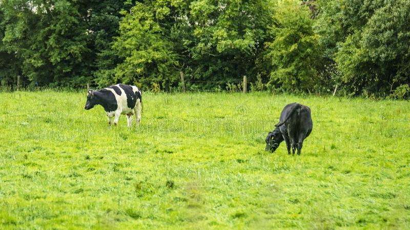 British pastoral scenery. In the outskirts of many British towns, the green trees are forested, the green grass is shaded, the cattle and sheep are in groups royalty free stock images