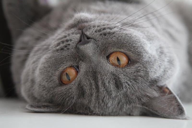 British pet cat. stock images